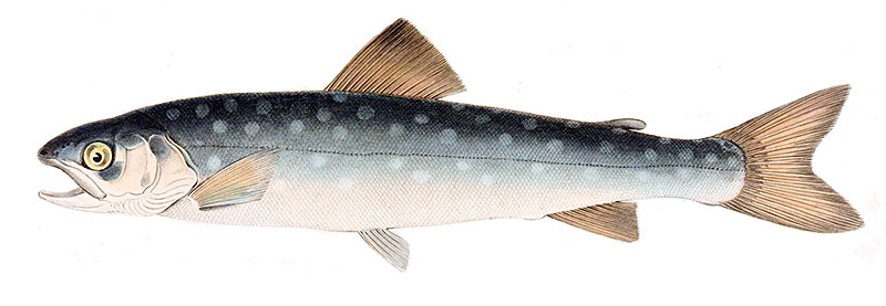 Whitespotted Char